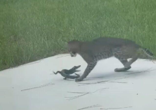 Valente filhote de jacaré trava batalha mortal com lince