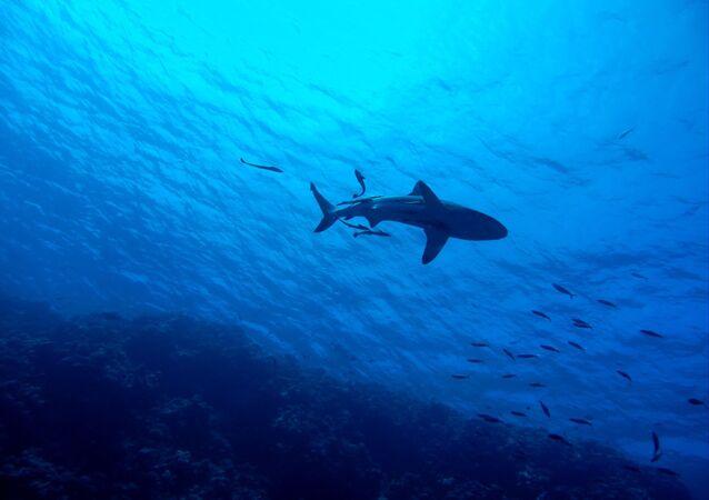 Foto de tubarão (imagem referencial)