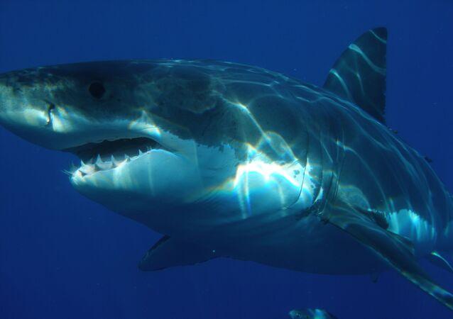 Tubarão branco (imagem referencial)
