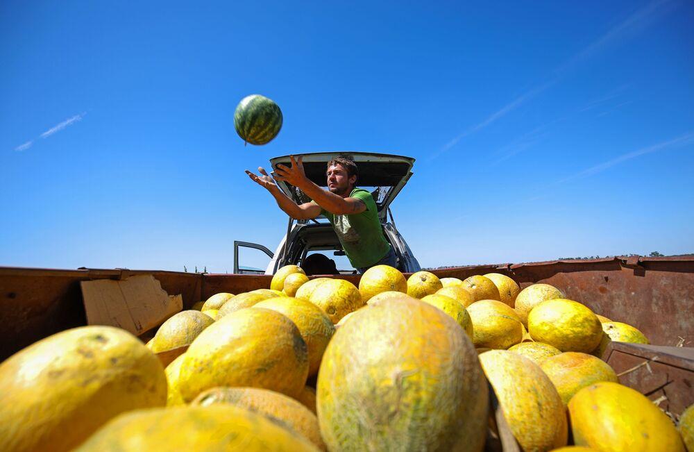Colheita de melancias e melões em uma fazenda agrícola na região de Krasnodar, Rússia