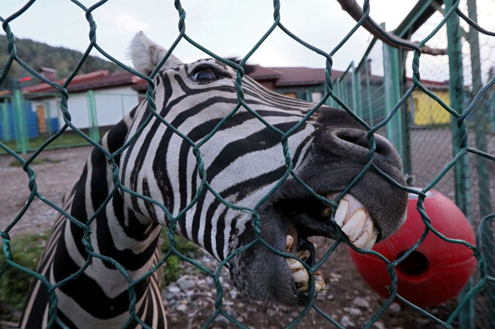 Zebra em jardim zoológico na cidade de Krasnoyarsk, Rússia