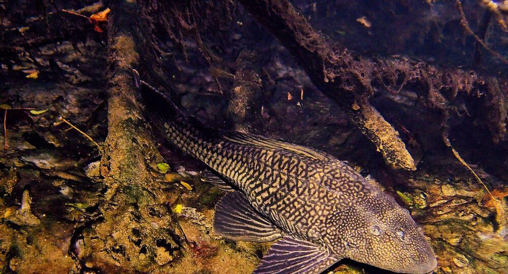Peixe da espécie Pterygoplichthys pardalis, que é nativo da bacia do rio Amazonas, no Brasil e no Peru