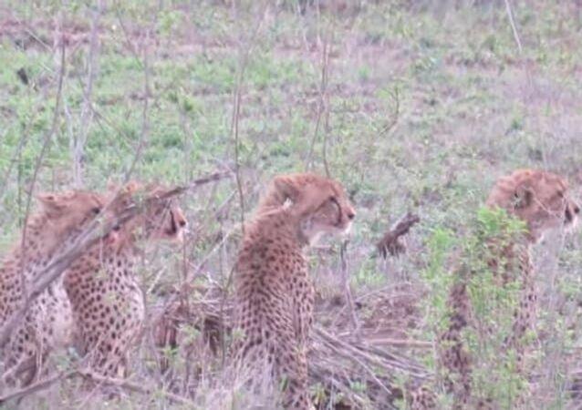 Leoa é mais rápida e leva almoço de 5 guepardos