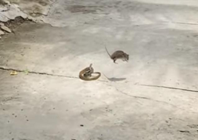 Rato enfrenta cobra