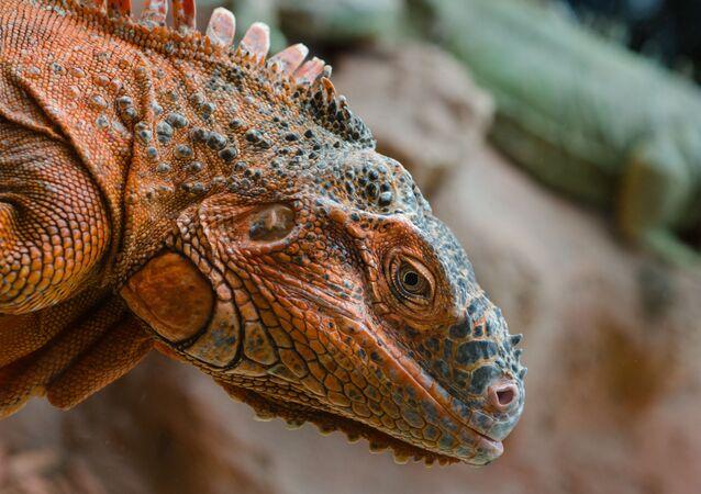 Iguana (imagem referencial)