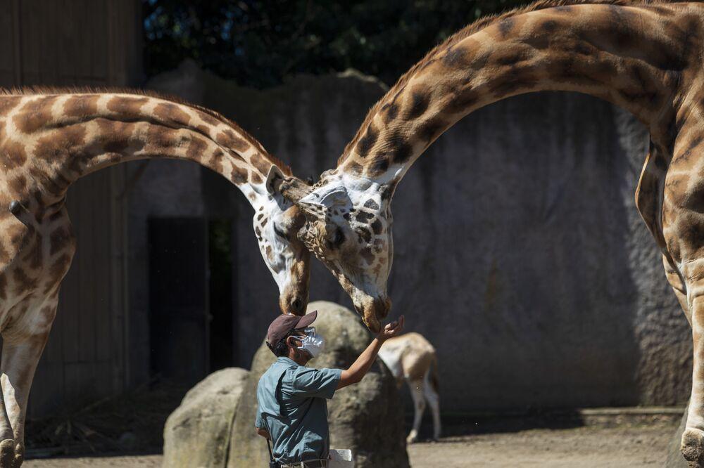 Tratador de zoológico alimenta girafas no Zoo La Aurora, na Guatemala