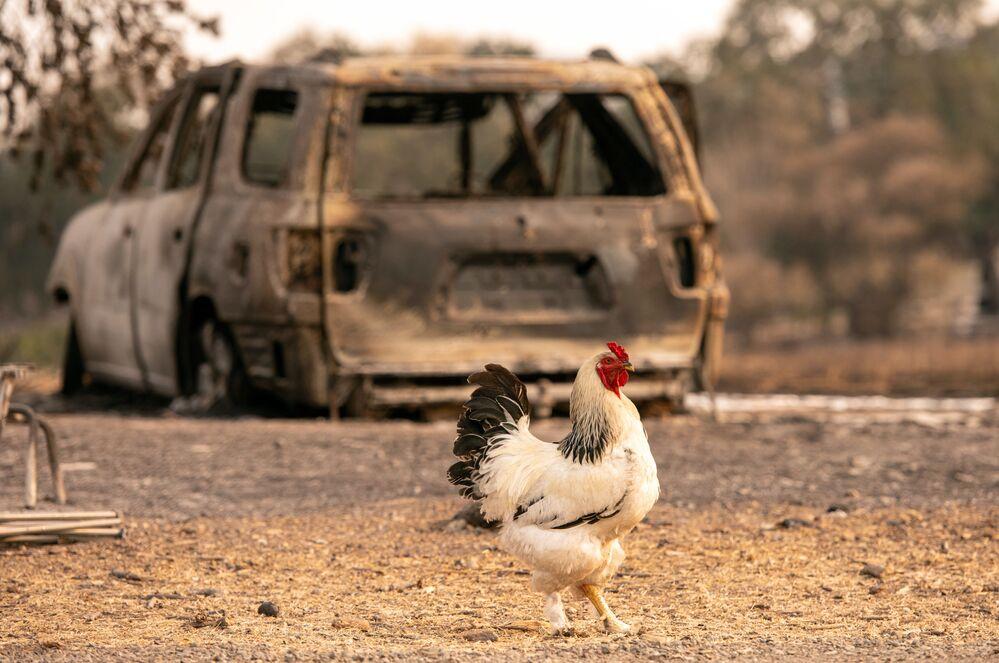 Galo perto de um carro queimado em Vacaville, Califórnia