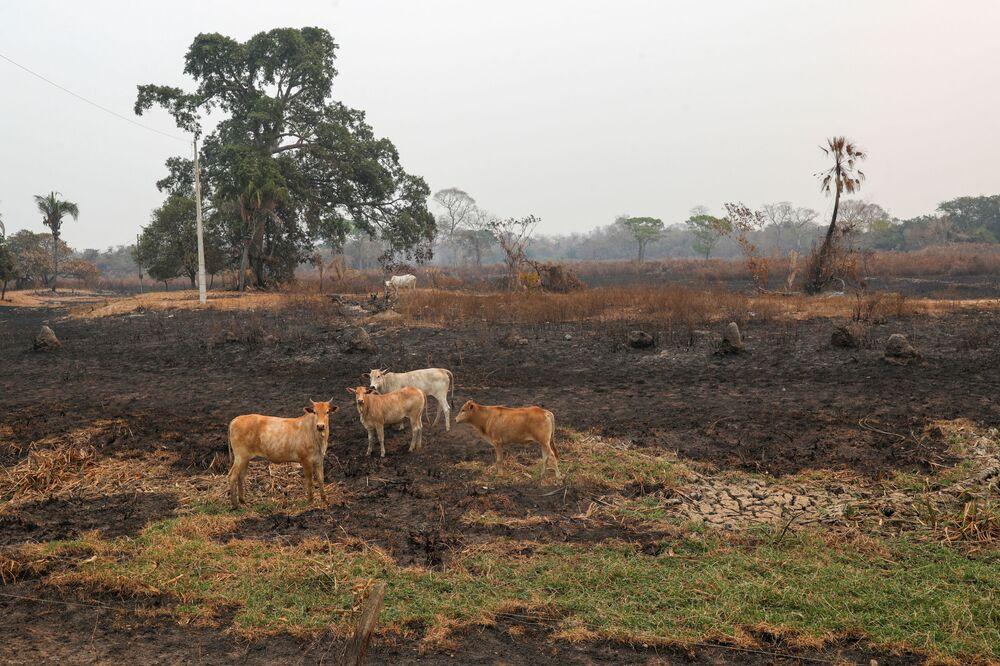 Gado em área queimada no Pantanal, em Pocone, Mato Grosso