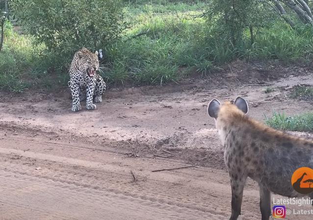 Hiena se aproxima lentamente e prega susto em leopardo insuspeito na África do Sul