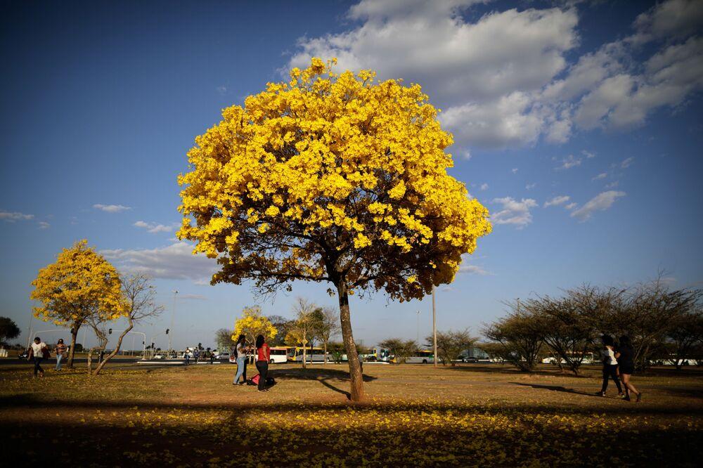 Pessoas passam em frente a árvores ipês-amarelos no Distrito Federal