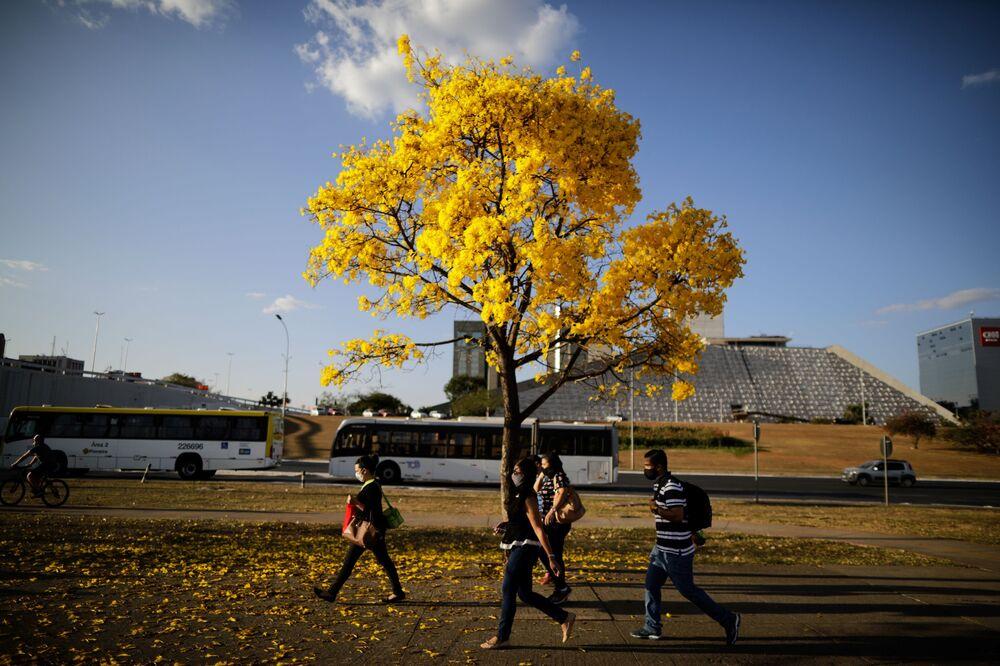 Pedestres caminhando em frente a uma árvore ipê-amarelo em Brasília