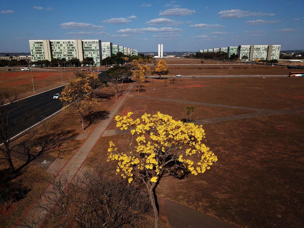 Ipê-amarelo com a Esplanada dos Ministérios ao fundo, em Brasília