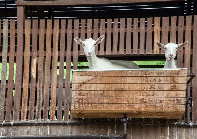 Cabras vistas por visitantes em passeio aberto ao público na fazenda Bananal, em Paraty, Rio de Janeiro (arquivo)