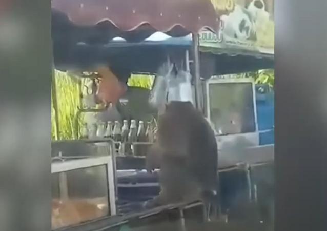 Macaco atrevido não dispensa almôndegas para lanche