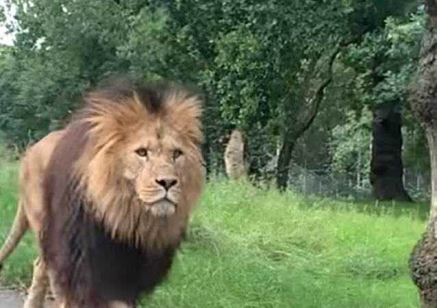 Leão entre carros