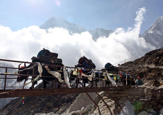 Iaques carregando equipamentos para a base do Everest, no Himalaia, no Nepal (Foto de Arquivo).