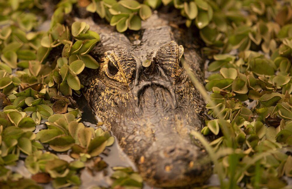 Jacaré na região do Pantanal, 11 de setembro de 2020