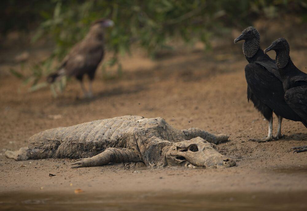Urubus ao lado de carcaça de jacaré no Parque Encontro das Águas, no Mato Grosso
