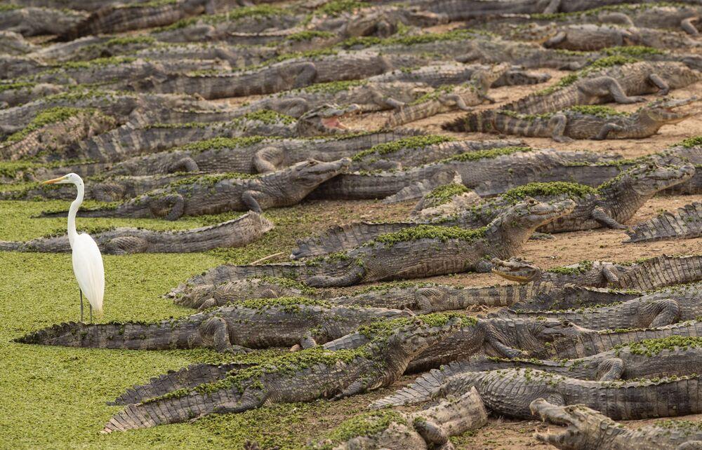 Jacarés e garça no rio Bento Gomes, no estado de Mato Grosso