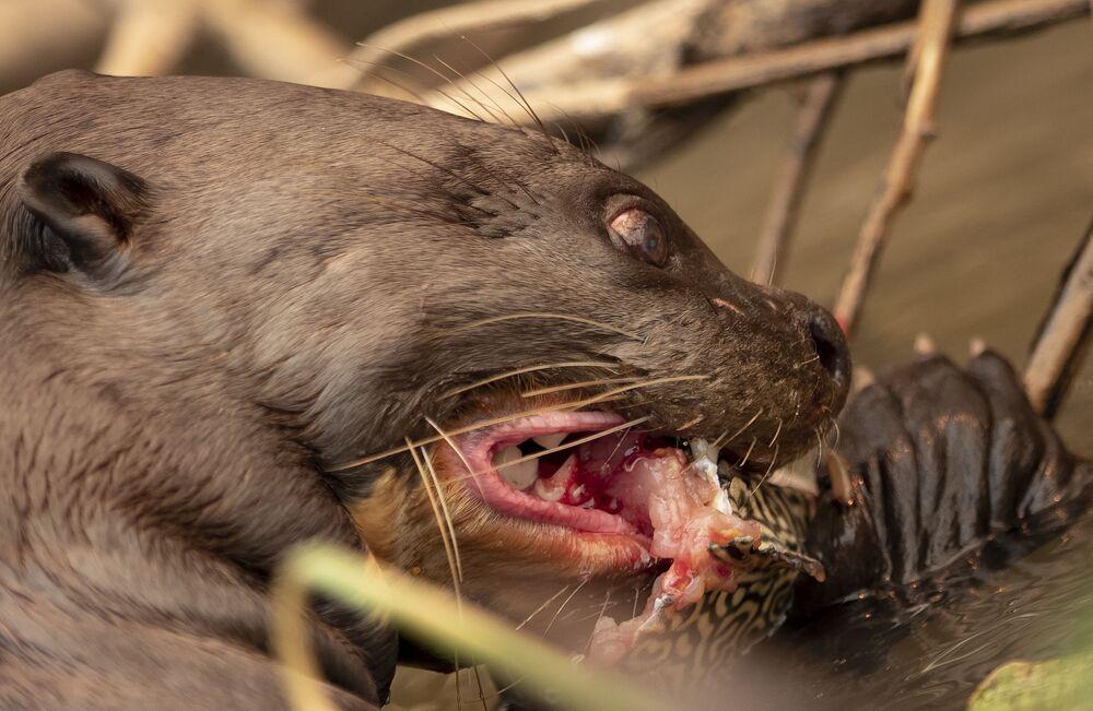 Lontra come peixe no Parque Encontro das Águas em meio a grandes incêndios