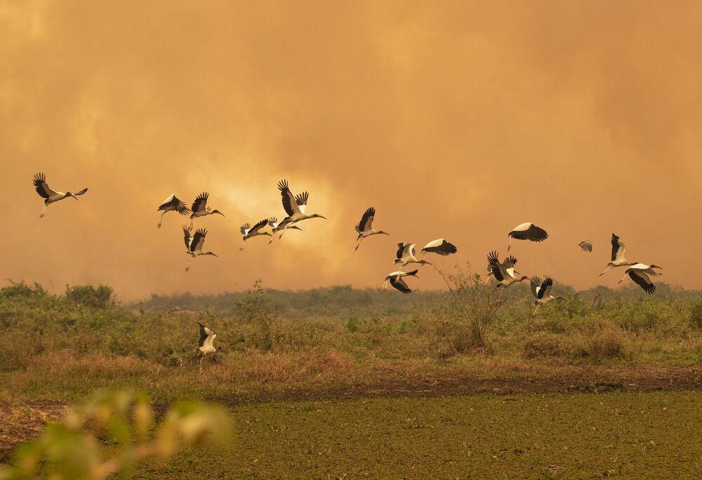 Pássaros voam em meio a fortes incêndios no Pantanal