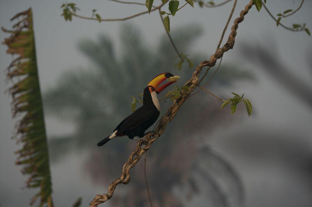 Tucano em árvore durante incêndios que assolam o Pantanal