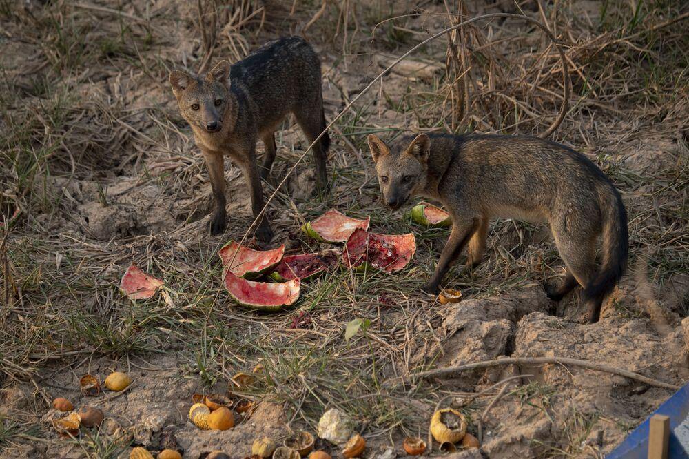 Raposas se alimentam de melancia deixada por protetores dos animais no Pantanal
