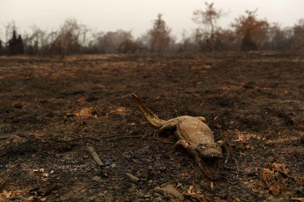 Corpo de jacaré testemunha impacto dos fortes incêndios que atingem grande parte do Pantanal