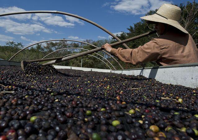 Produção de café em São Paulo (foto de arquivo)