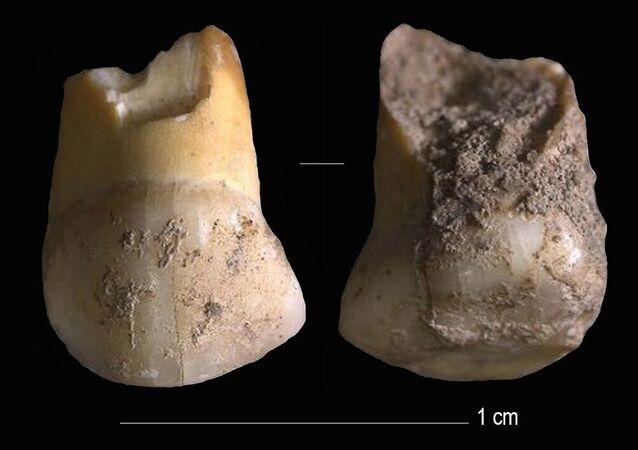 Dente de leite canino superior que pertenceu a uma criança neandertal, de 11 ou 12 anos, que viveu há 48 mil anos