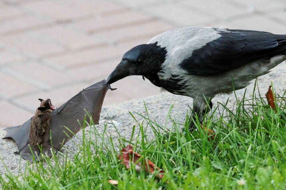 Gralha ataca morcego no centro de Kiev, Ucrânia