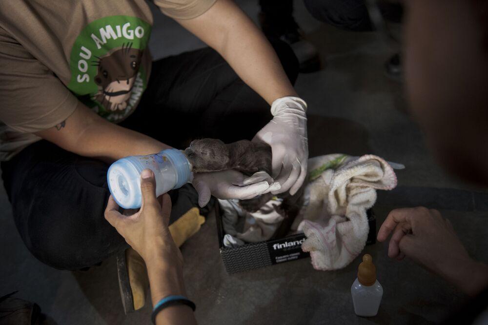 Cria de ariranha recebe tratamentos de veterinários em centro de resgate de animais no Mato Grosso