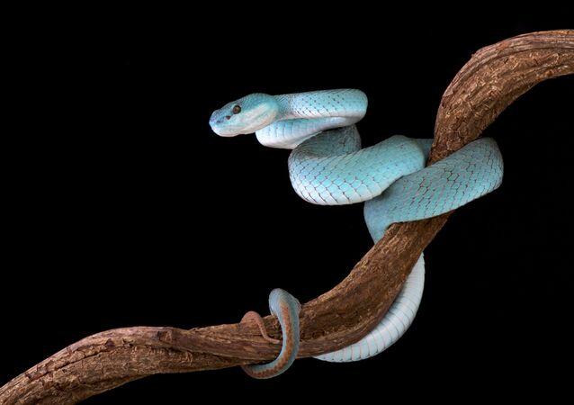 Trimeresurus albolabris insularis