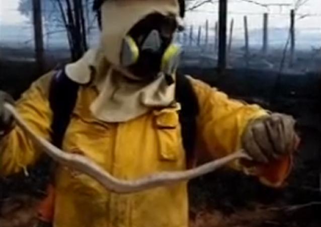 Bombeiro salva filhote de jiboia