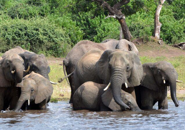Elefantes no Parque Nacional Chobe, em Botsuana