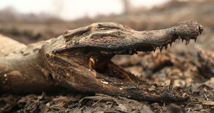 Em Poconé, no Mato Grosso, um jacaré aparece morto devido às queimadas na região brasileira, em 31 de agosto de 2020.