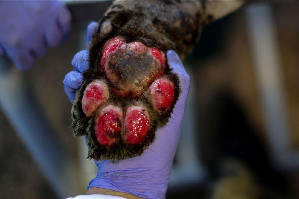 Imagem de pata de onça queimada por incêndios no Pantanal
