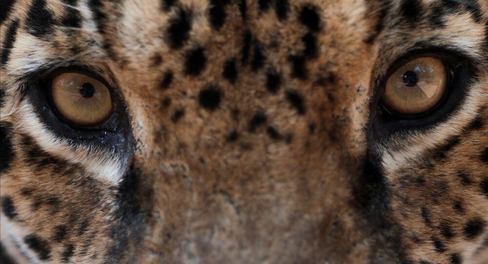 Onça-pintada adulta chamada Xama recebe cuidados veterinários, alimentação e tratamento na ONG Instituto Nex em Corumba de Goiás, estado de Goiás, Brasil, 19 de setembro de 2020