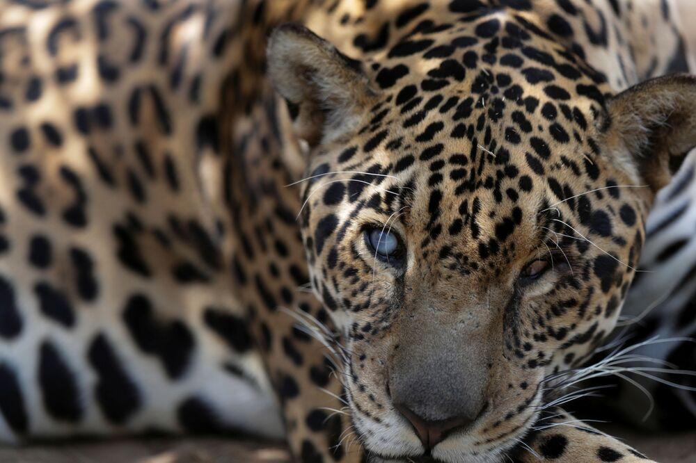 Onça Merlin após receber tratamento veterinário em ONG no estado de Goiás