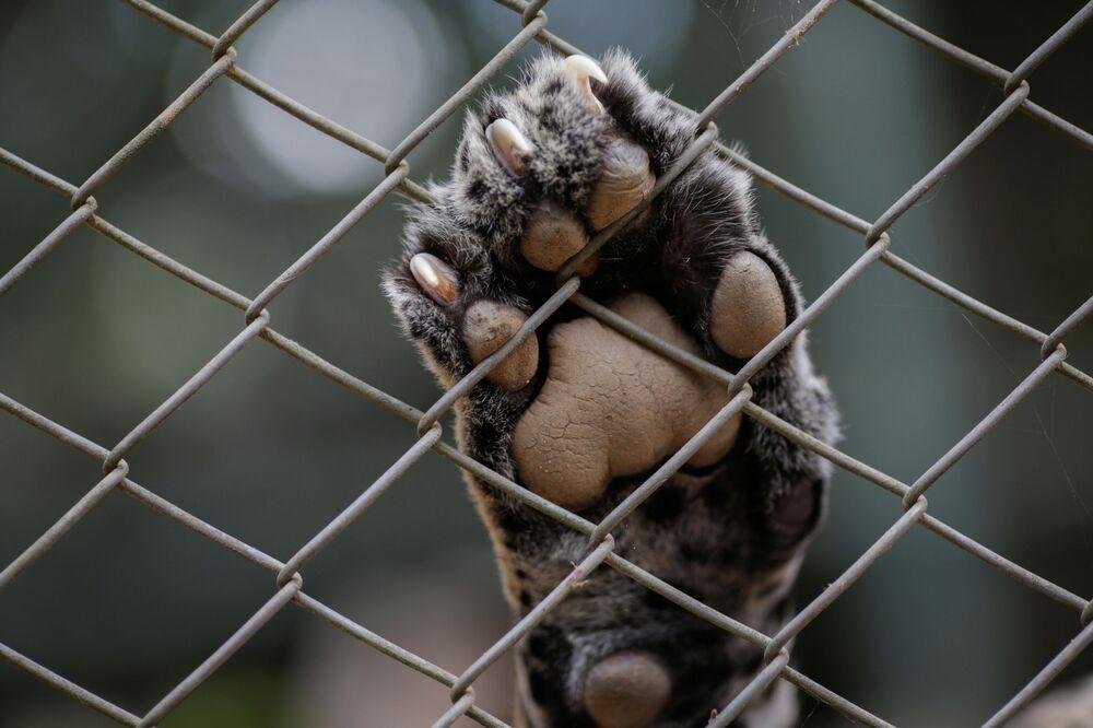 Pata de onça adulta em cerca das instalações da ONG Instituto Nex, que recebe animais vítimas de incêndios no Pantanal