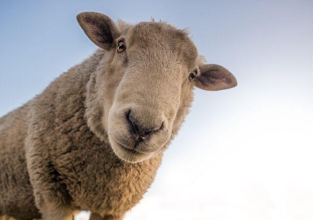 Ovelha feliz (imagem referencial)