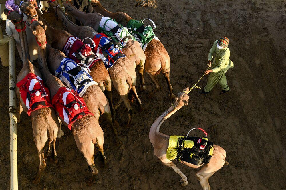 Homem prepara camelos para uma corrida nos Emirados Árabes Unidos