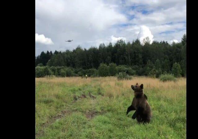 Drone desperta curiosidade de urso que faz de tudo para pegá-lo