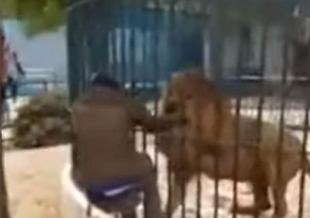 Leão abocanha braço de guia