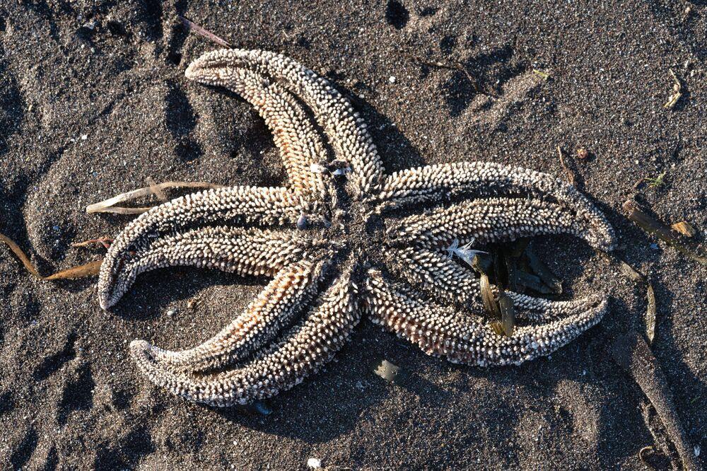 Estrela do mar encontrada na areia de praia de Kamchatka, no Extremo Oriente russo