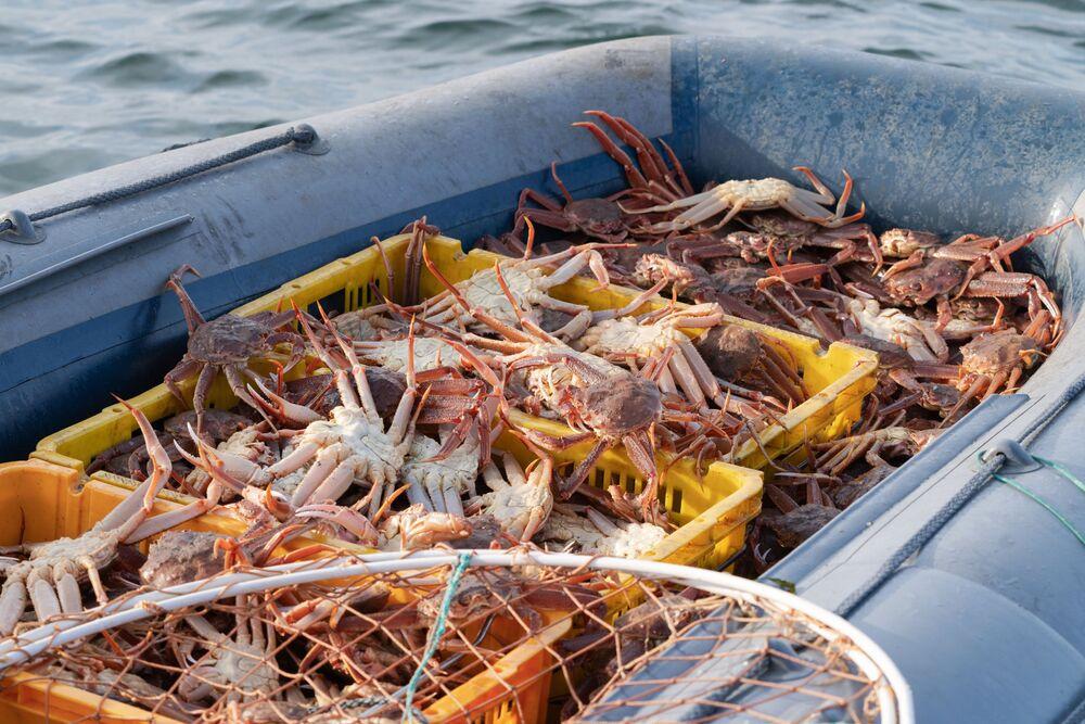Caranguejos pescados na baía de Avacha, no Extremo Oriente russo