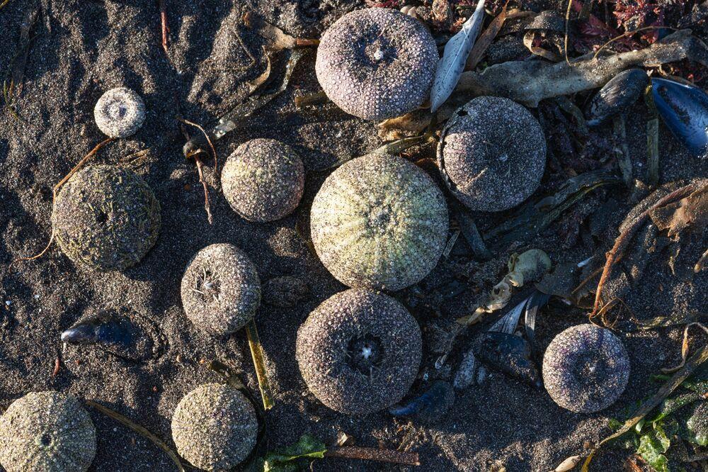 Ouriços-do-mar afetados por incidente ecológico na areia de praia na região russa de Kamchatka