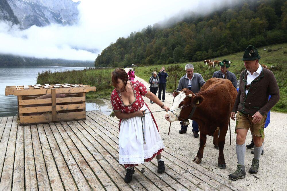 Agricultores da Baviera fazem regressar o gado das pastagens através do lago Koenigssee perto de Berchtesgaden, Alemanha