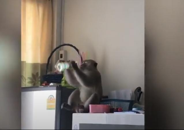 Macaco selvagem ousado invade casa, bebe suco e rouba alimento na Tailândia