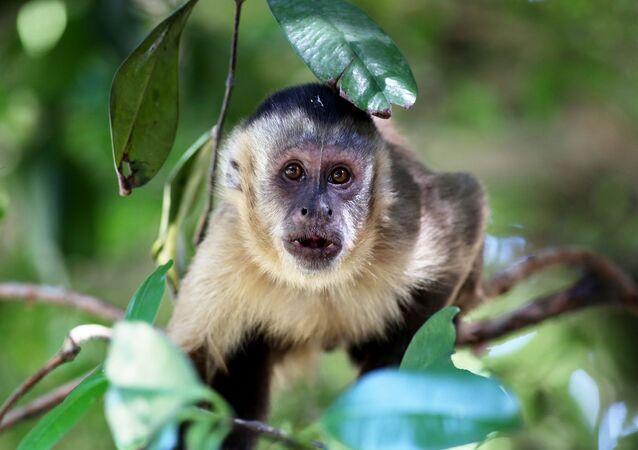 Macaco-prego-de-cara-branca (imagem referencial)